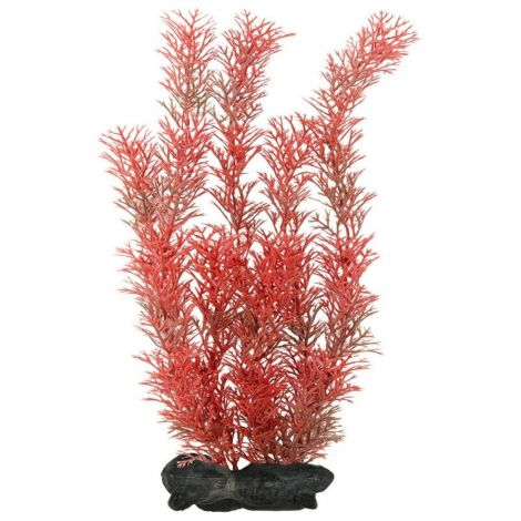 Rostlina Red Foxtail 30cm